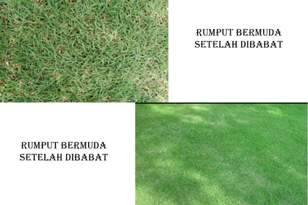 Jual Rumput Di Medan Sumatera Utara Biji Lapangan Bola Bermuda Cynodon Dactylon